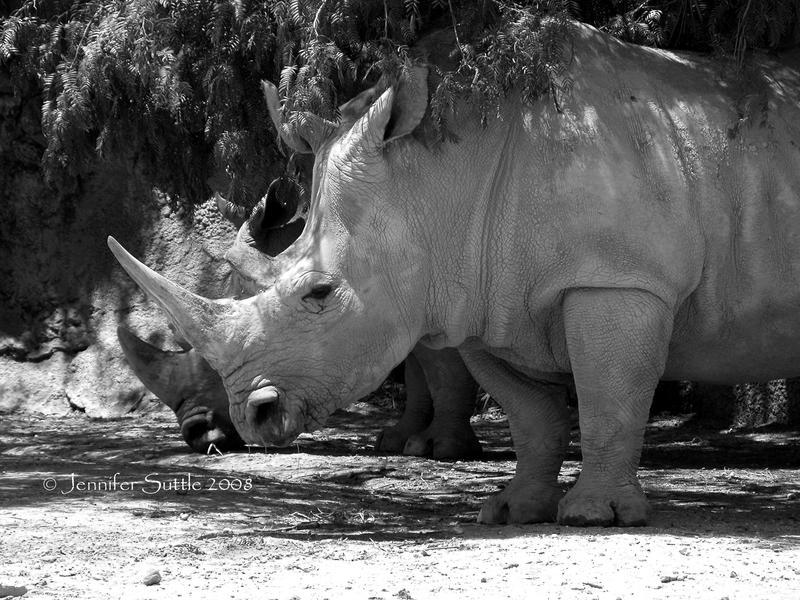 Rhino by jayshree