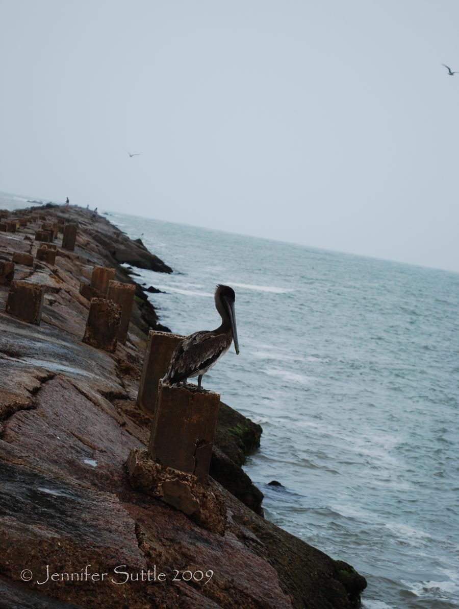 Pelican by jayshree