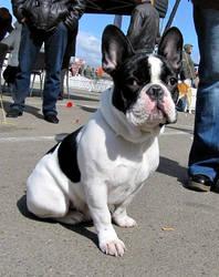 French Bulldog by natiawarner