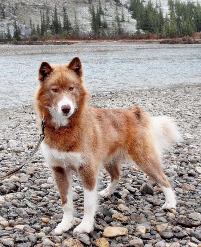 Canadian Inuit Dog - Torch by natiawarner