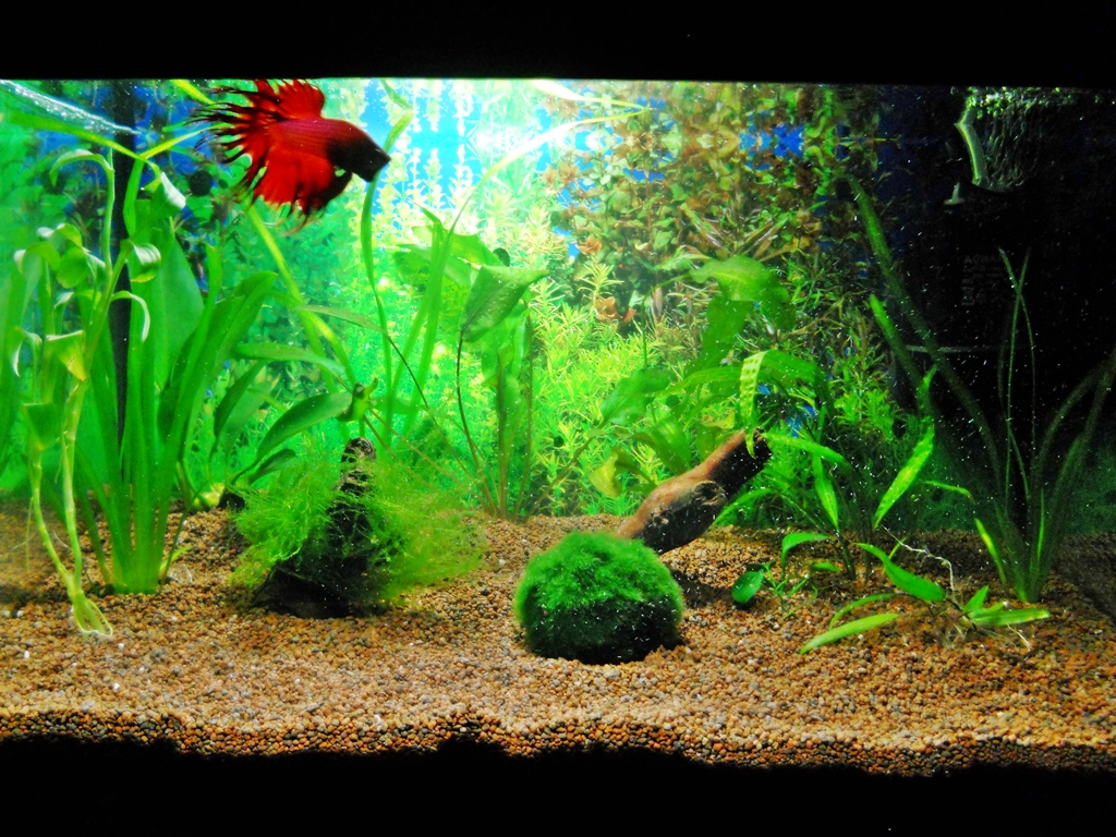 Plants for betta fish live aquarium plants pictures ep for Betta fish and plants
