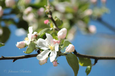 Apple tree blooming by CurrentlyLoading