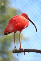 Red ibis by CurrentlyLoading