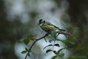 Parus caeruleus by CurrentlyLoading