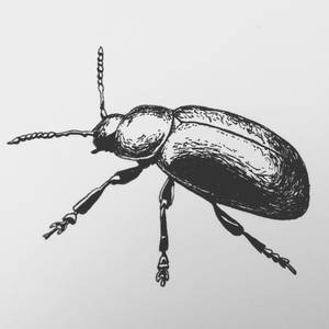 Green dock beetle