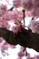 Cherry Cherry Boom Boom by mediumanalog
