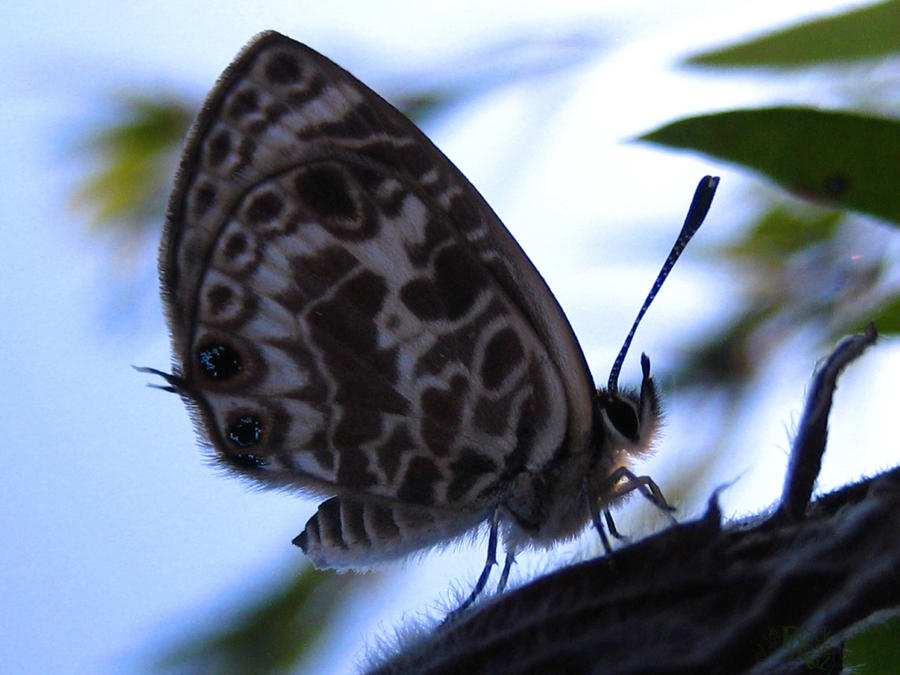 Leptotes plinius butterfly by blackrose-oz