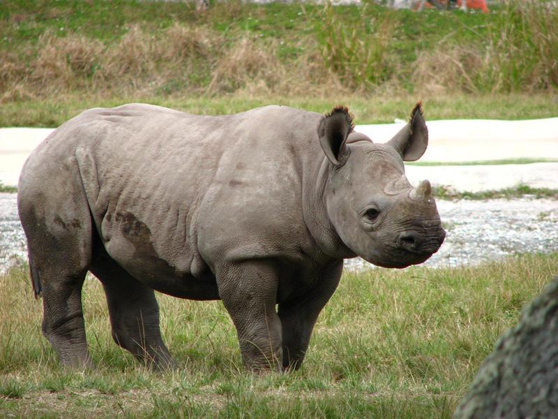 Metro Zoo  baby rhino by shuttered smiles