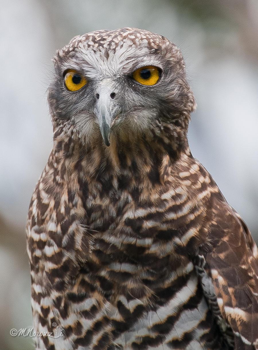 Owl by mnoruzi