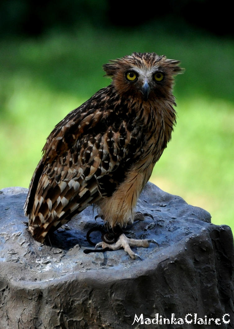 buffy fish owl by madinkaclairec on deviantart