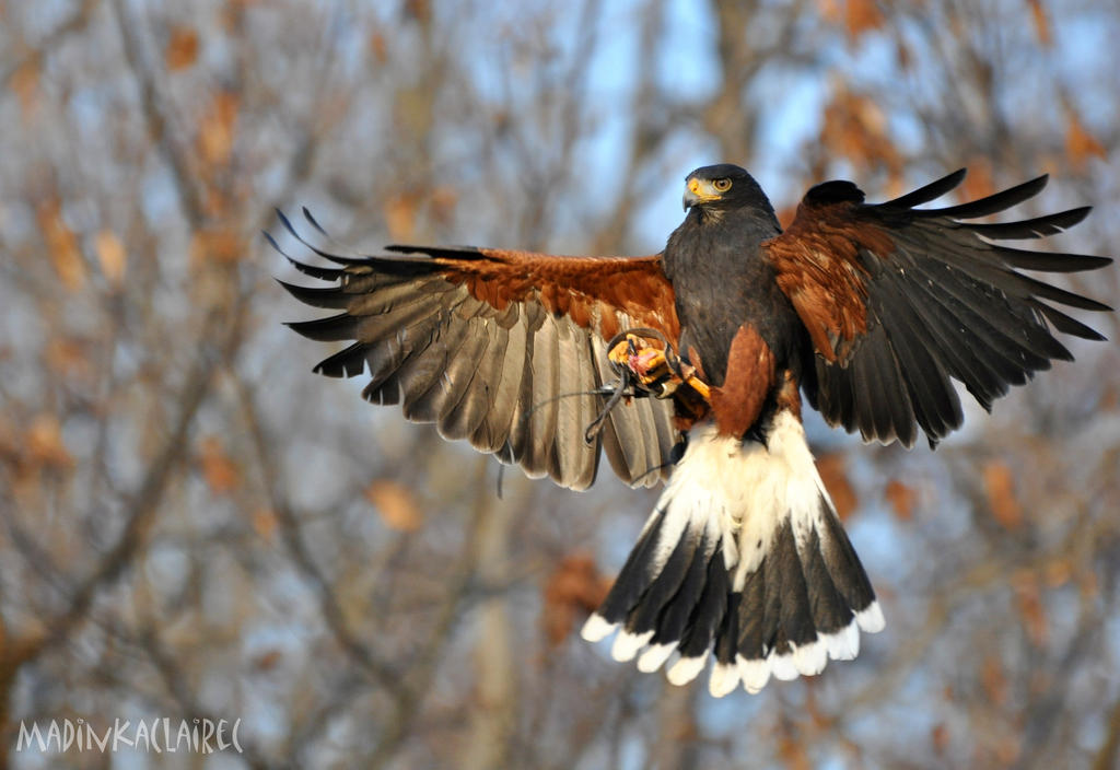 Harris's Hawk by MadinkaClaireC