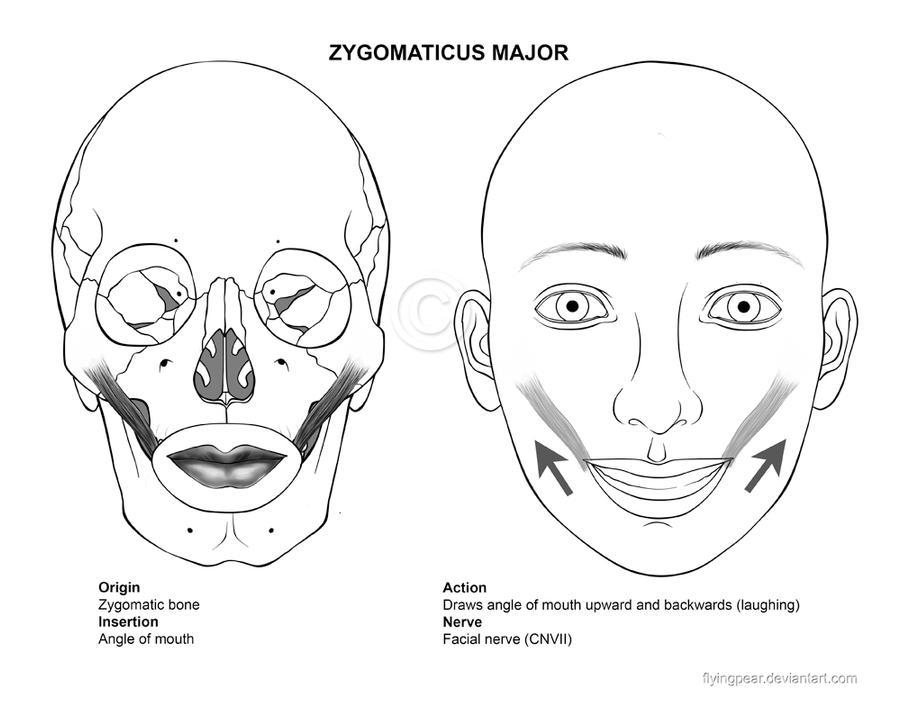 Zygomaticus Major 2 By Flyingpear On Deviantart