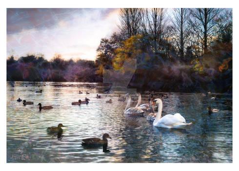 Swans  Ducks 14x10