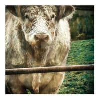 Bull 8x8