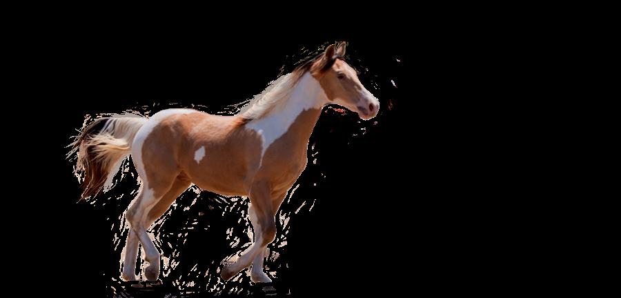 صور احصنه بدون خلفيه png سكرابز حصان png صور احصنه precut__paint_horse_by_theciscokid67-d4cjibb.png