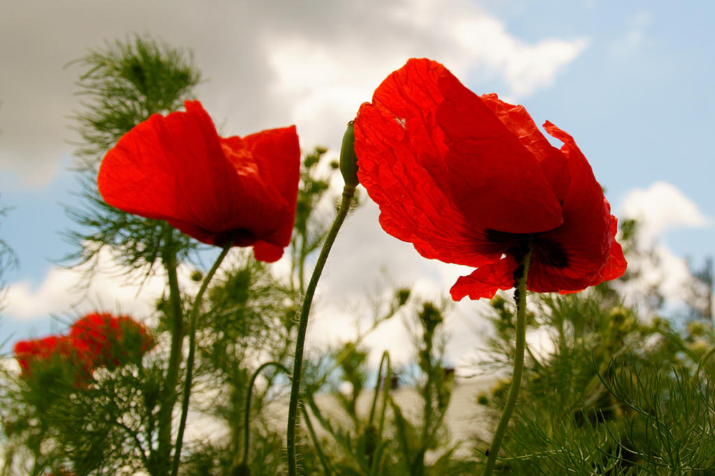 poppies in the wind - photo #9