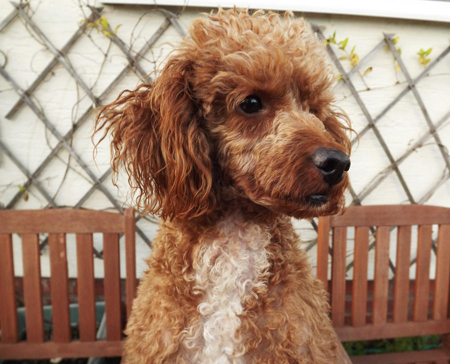 chester poodle by Sooty-Jane