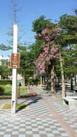 Cherry Blossom Tree near Taipei City Hall
