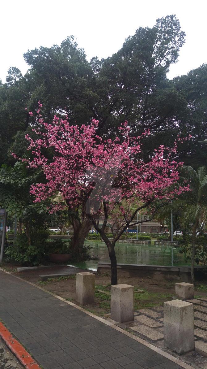 Cherry Tree Blossoms on a rainy day by ThomasAnime