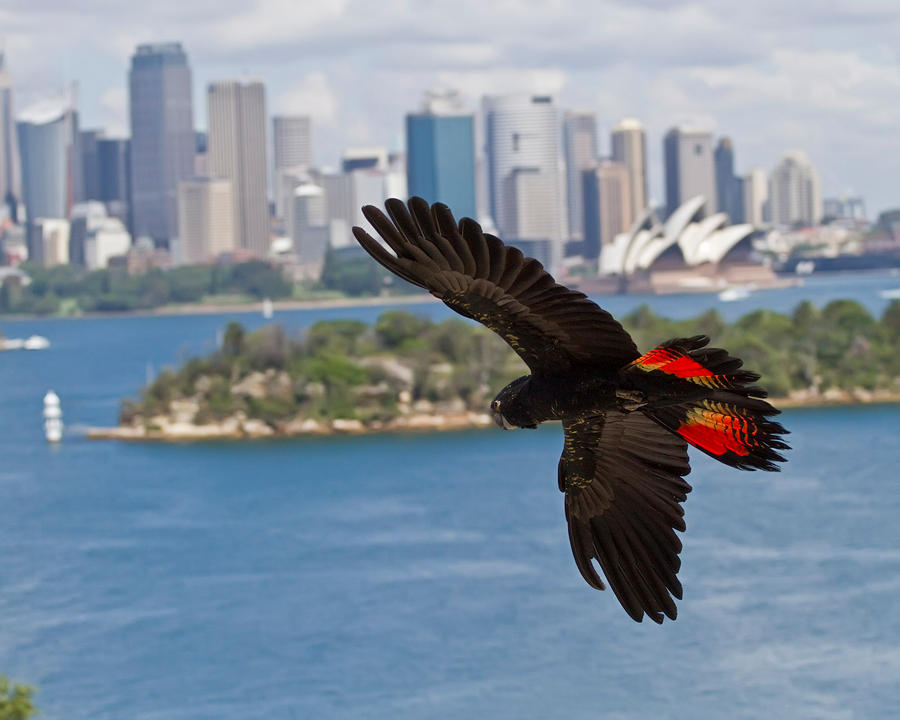Red Tailed Black Cockatoo by wolfhound2000