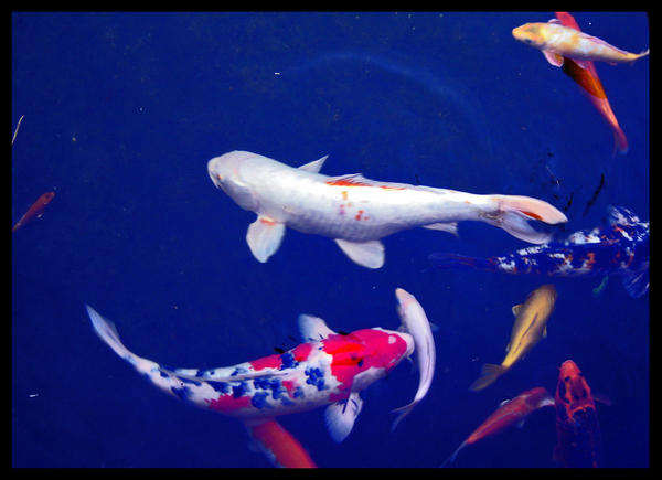 Koi fish by fillemort on deviantart for Keeping koi fish