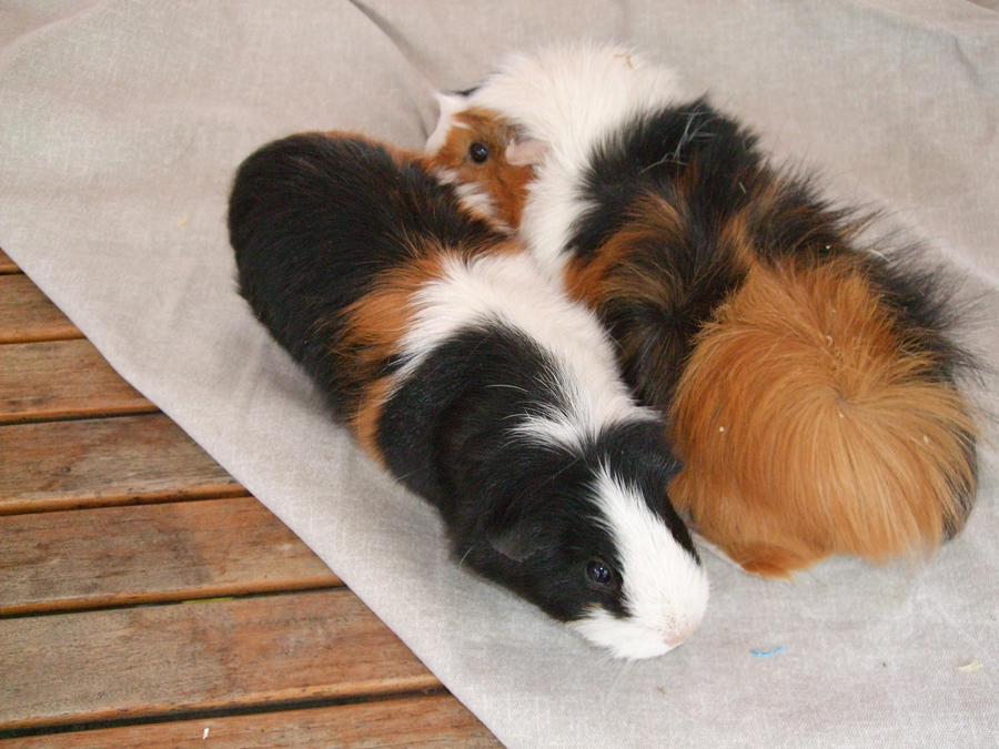 Xx guinea pigs xX by charly1998