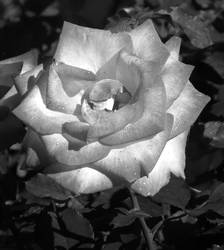 Rose in Black and White by ShipperTrish