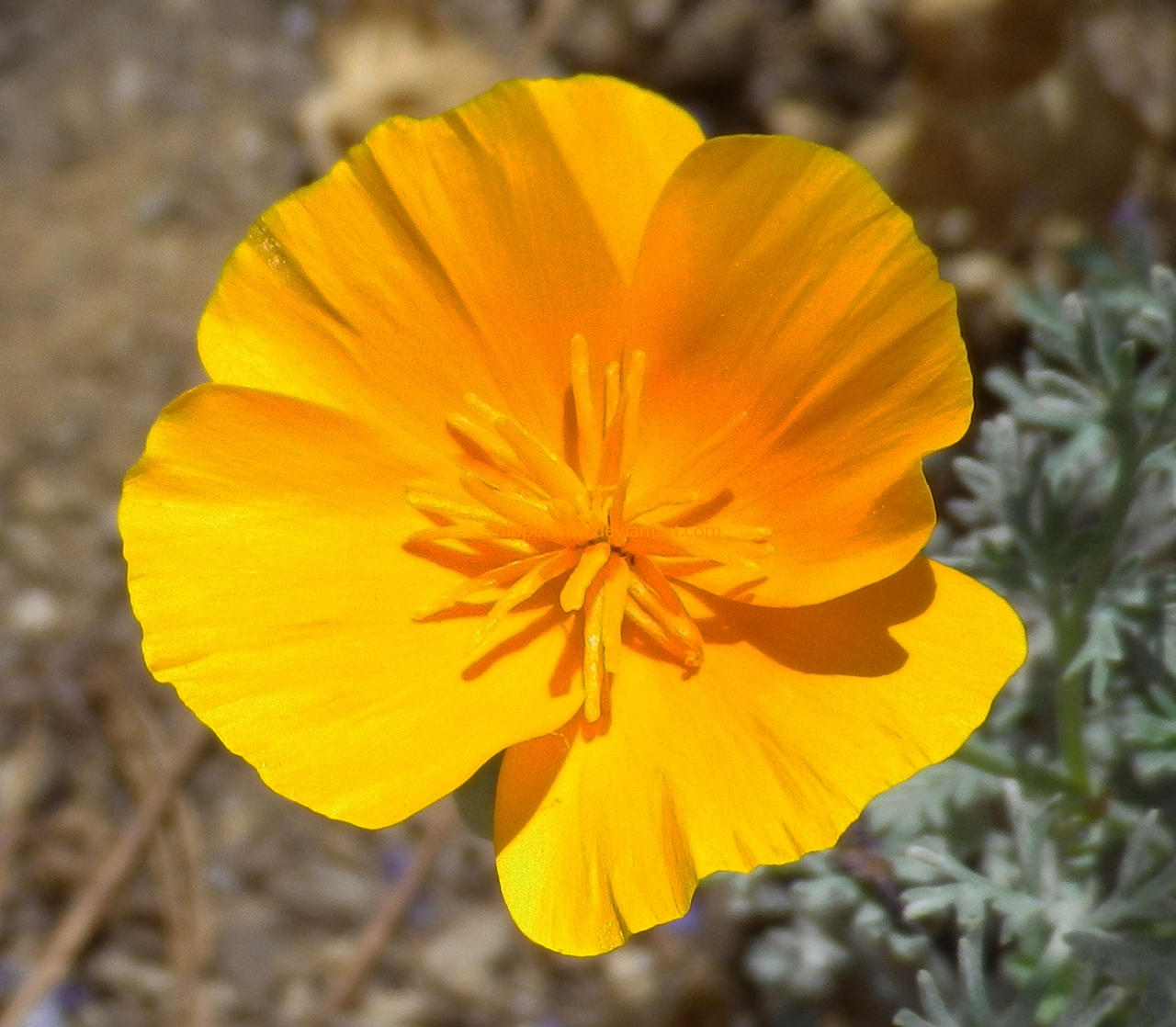 California Poppy (State Flower) By ShipperTrish On DeviantArt