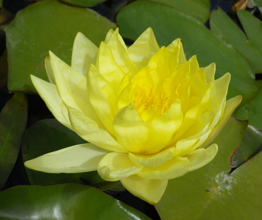 yellow water lily flower - photo #24