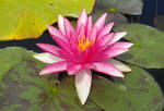 Magenta Water Lily