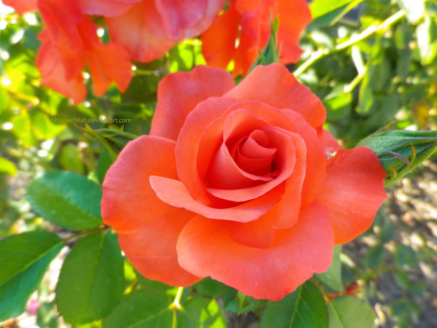 pink and peach roses - Google Search   CRP   Orange And Pink Roses