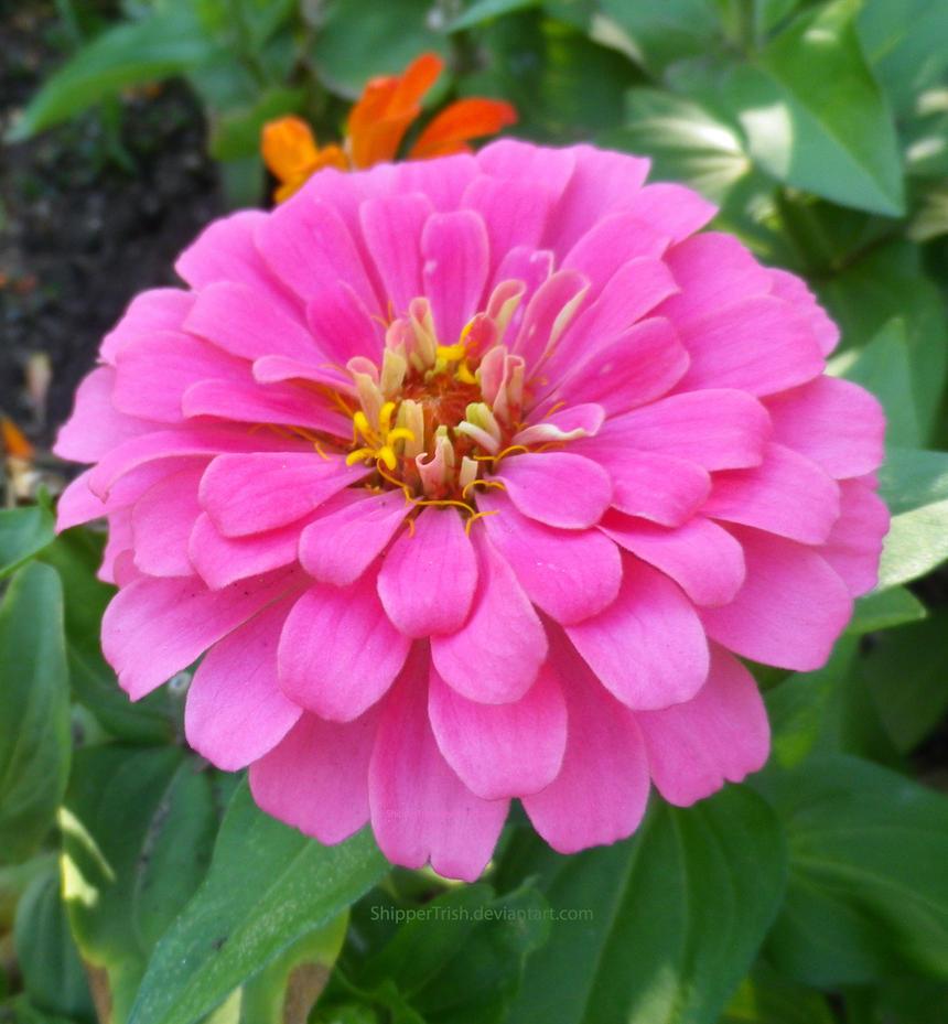 Pink Pompom Flower by ShipperTrish
