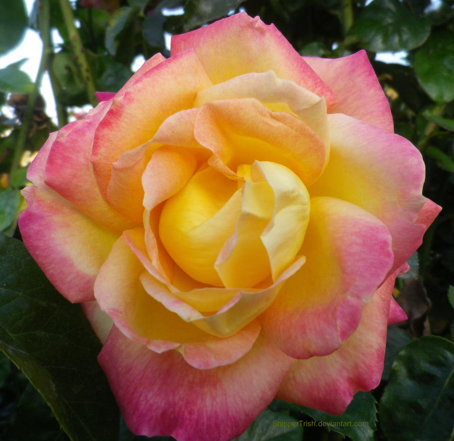 Pink And Yellow Rose By Shippertrish On Deviantart