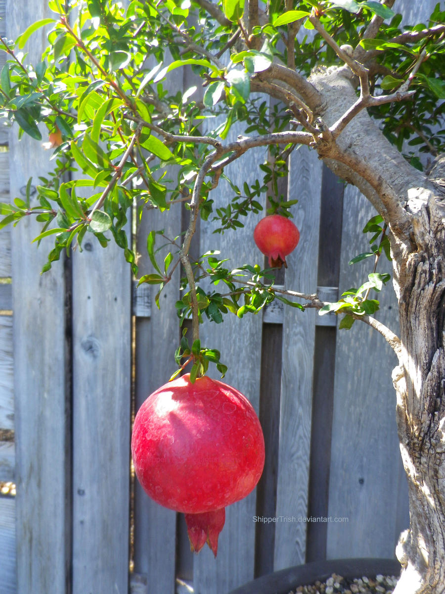 Pomegrantes by ShipperTrish