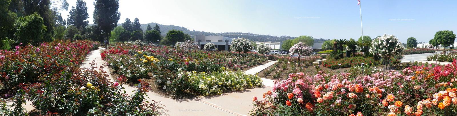 Rose Garden Panorama 2 by ShipperTrish