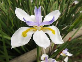 Iris by ShipperTrish