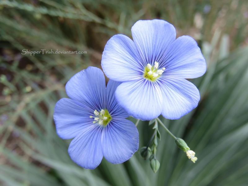 Purplish Blue Flowers by ShipperTrish