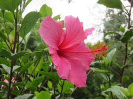 Hibiscus by ShipperTrish