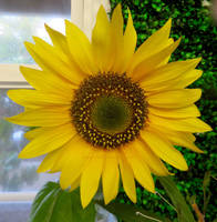 Sunflower by ShipperTrish