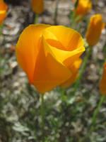 California Poppy by ShipperTrish