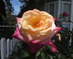 Sunlit Hybrid Rose