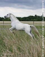 Paddy_7 by cavallostock