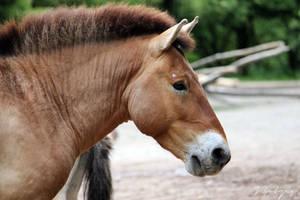 Przewalski_Stallion_Portrait by cavallostock