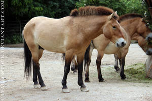 Przewalski_Stallion_1 by cavallostock