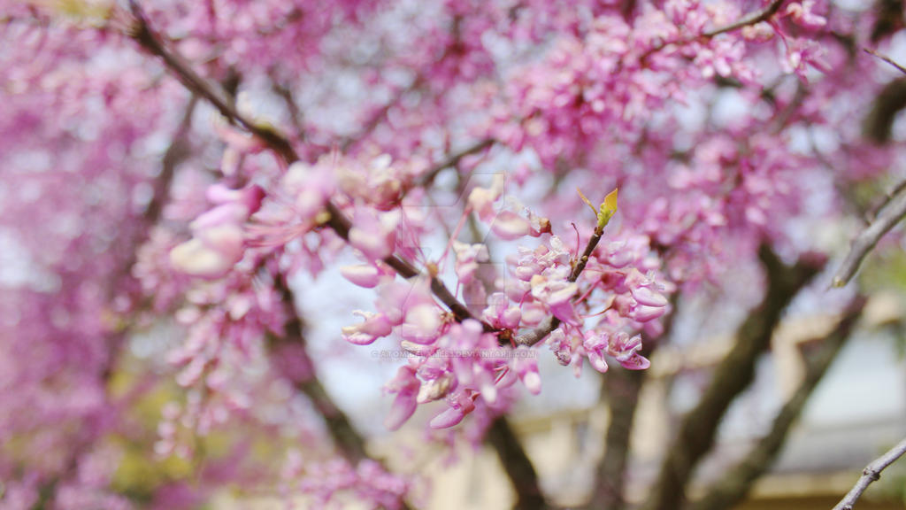 Pink Tree Blossoms- Canon Rebel T3i
