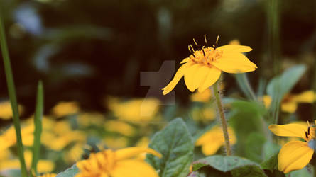 Yellow Flower- Canon Rebel T3i