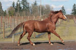 Horse Stock388