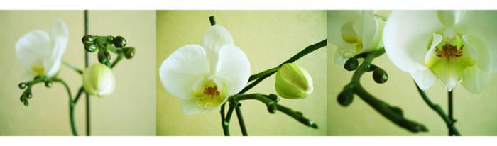 orchid by lijo