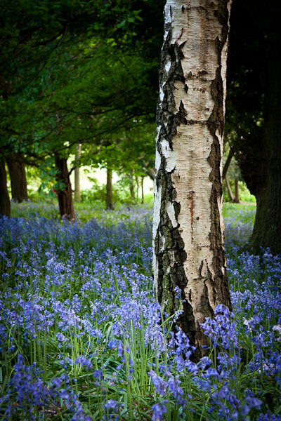 Bluebells II by cardinal