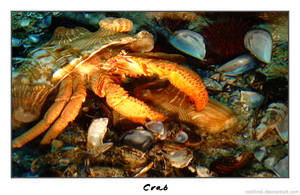 Crab by cardinal